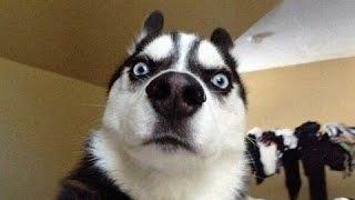 Lustige Hunde Versuche Nicht Zu Lachen Oder Zu Grinsen